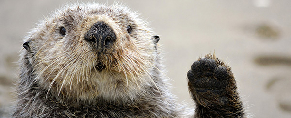 It's Sea Otter Awareness Week!