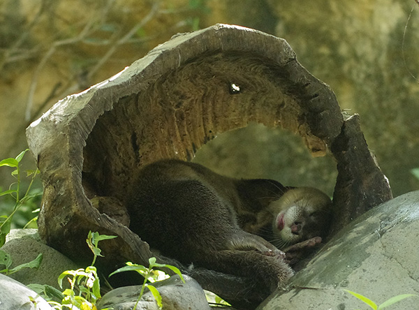 Otter Falls Asleep in a Cozy Hollow Log