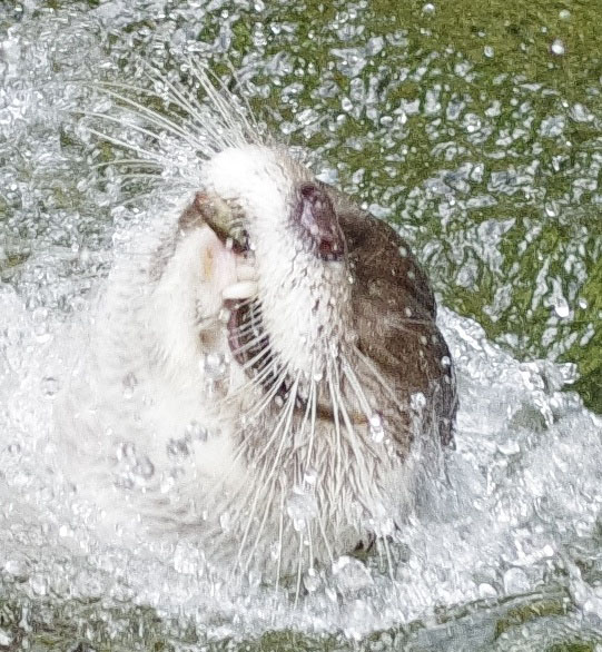 Otter Is So Excited to Catch a Fish 3