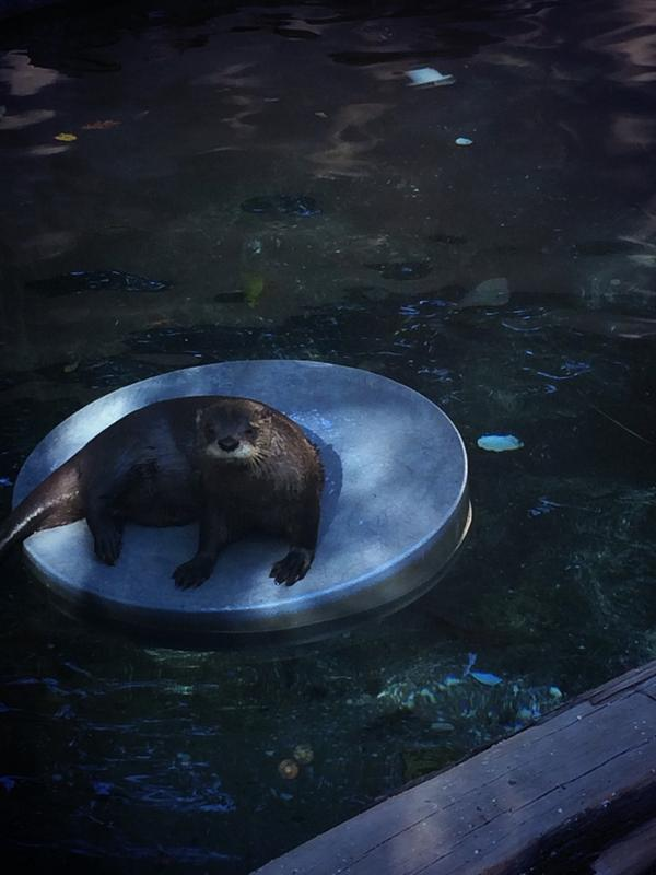 Otter Lounges on a Floaty