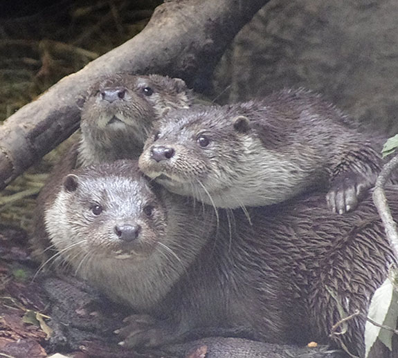 Otters Crowd in for a Photograph