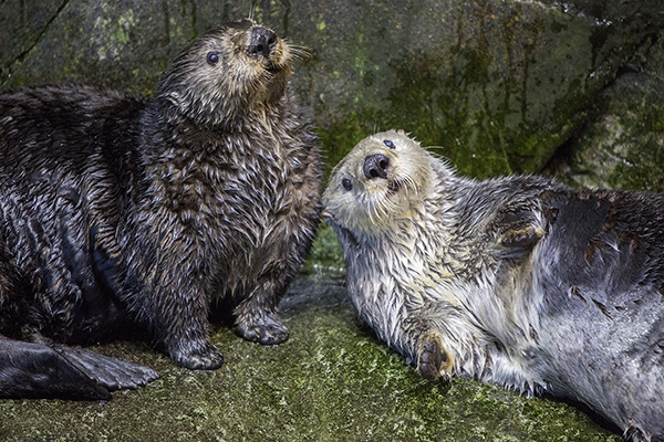 Sea Otters Are Good at Looking Cuddly 1