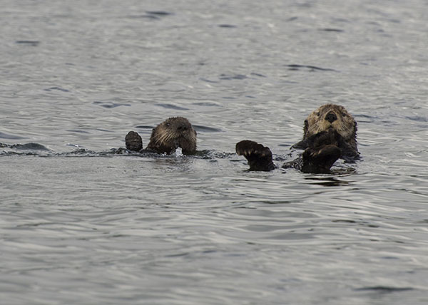 Sea Otter Mother and Her Pup Are on to the Photographer