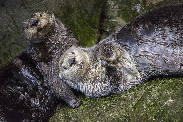 Sea Otters Are Good at Looking Cuddly 3
