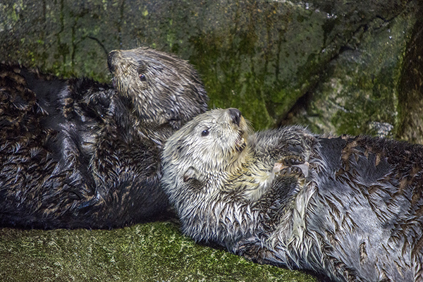 Sea Otters Are Good at Looking Cuddly 4