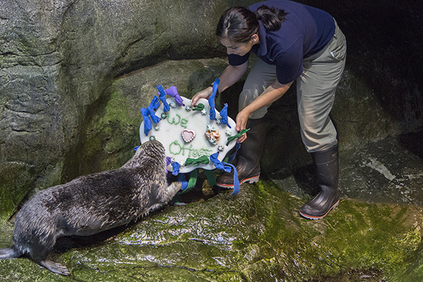 Sea Otters at Shedd Aquarium Celebrate Sea Otter Awareness Week with Tasty, Icy Treats 1