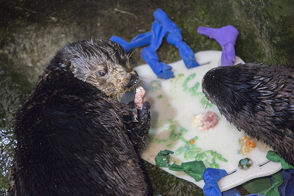 Sea Otters at Shedd Aquarium Celebrate Sea Otter Awareness Week with Tasty, Icy Treats 2