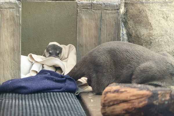 Little Otter Pup Hides in His Blankets