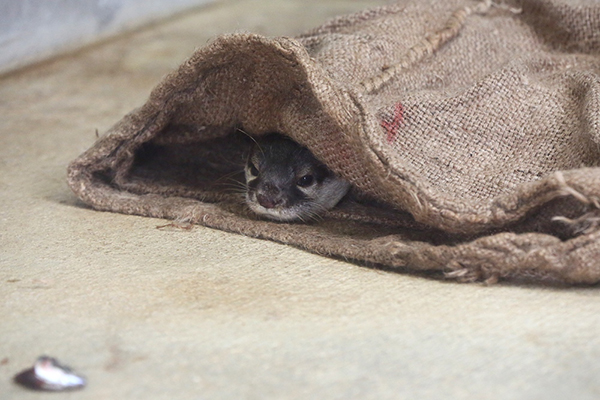 Otter Does Not Want to Get Out of His Cozy Sack Right Now