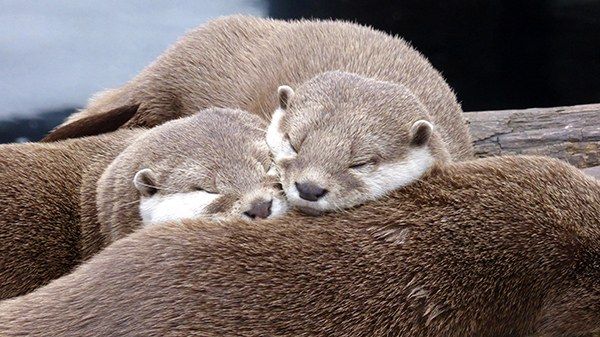 Otters Snuggle Up for a Nap on Their Friend