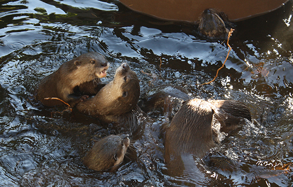 Otters Water Wrestle 1