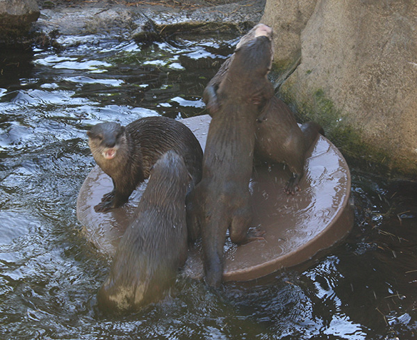 Otters Wrestle for the Pool Floaty