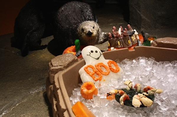 Sea Otters Check Out Their Halloween Ice Enrichment Treats 1