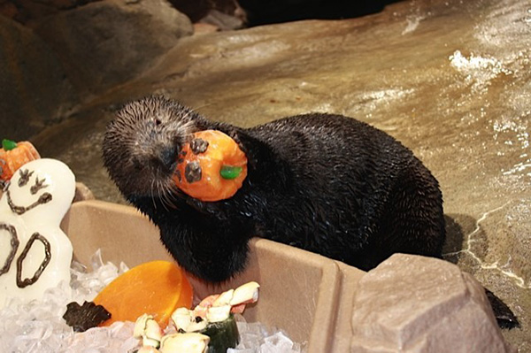 Sea Otters Check Out Their Halloween Ice Enrichment Treats 3