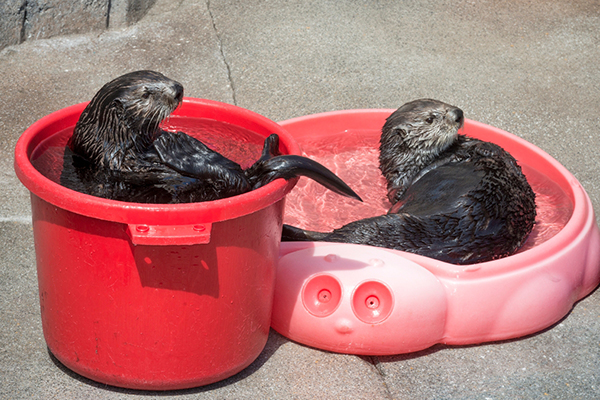 Sea Otters Have Their Own Otter-Sized Pools