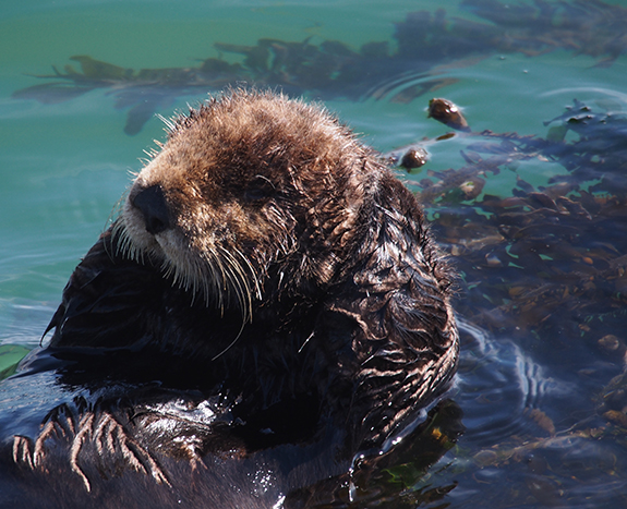 Sea Otter's Just Chilling Out