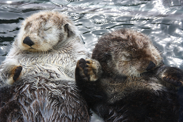 Snoozing Sea Otters Hold Hands