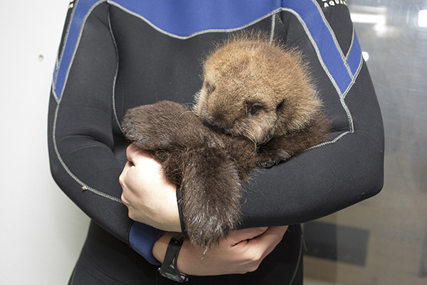 Cuddles for Sea Otter Pup 681 1