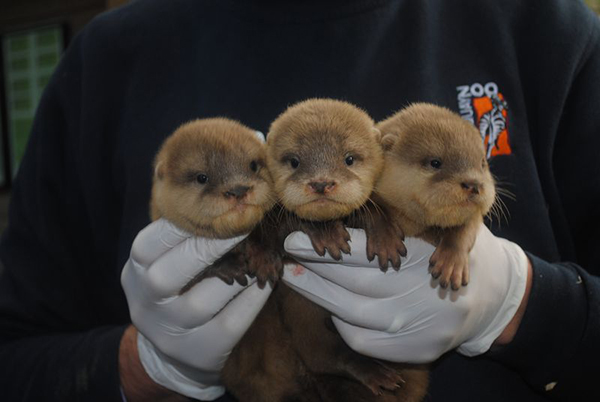 Newborn Otter Pups at Newquay Zoo! 1