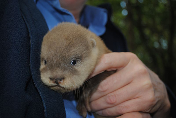 Newborn Otter Pups at Newquay Zoo! 2