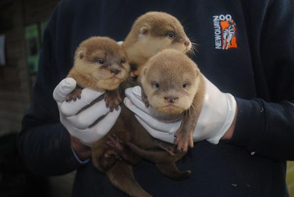 Newborn Otter Pups at Newquay Zoo! 3