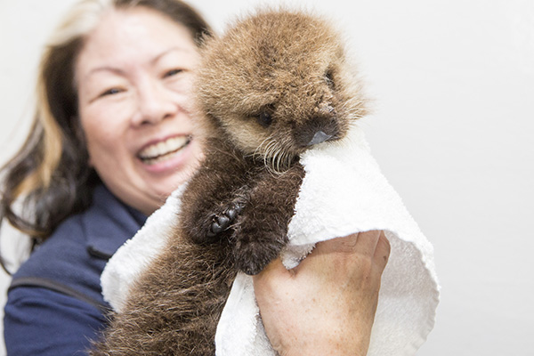 Orphaned Sea Otter Pup 681's First Night with Her Caretaker Humans at Shedd Aquarium 10