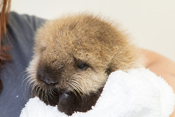 Orphaned Sea Otter Pup 681's First Night with Her Caretaker Humans at Shedd Aquarium 12