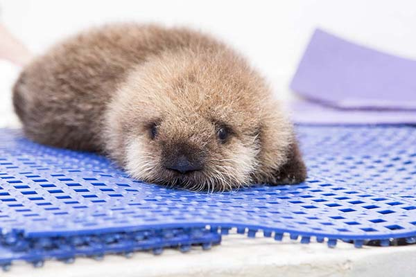 Orphaned Sea Otter Pup 681's First Night with Her Caretaker Humans at Shedd Aquarium 14