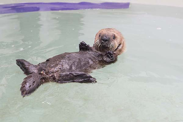Orphaned Sea Otter Pup 681's First Night with Her Caretaker Humans at Shedd Aquarium 16