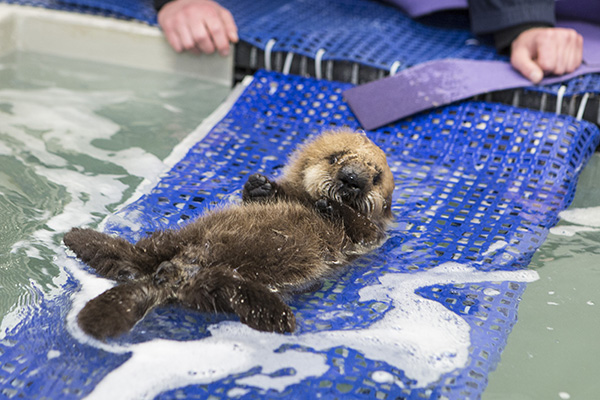 Orphaned Sea Otter Pup 681's First Night with Her Caretaker Humans at Shedd Aquarium 2