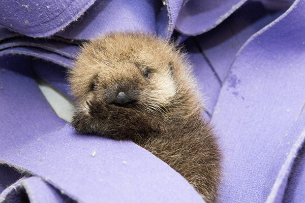 Orphaned Sea Otter Pup 681's First Night with Her Caretaker Humans at Shedd Aquarium 6
