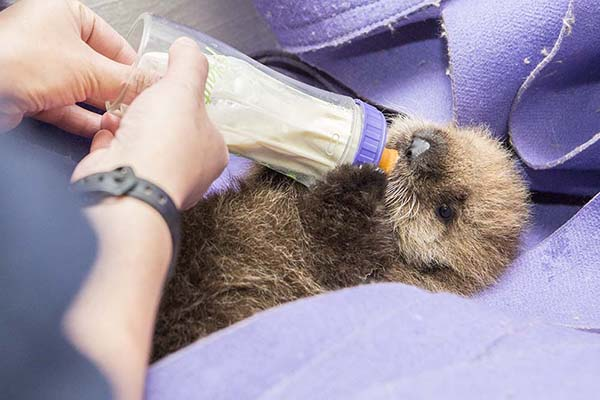 Orphaned Sea Otter Pup 681's First Night with Her Caretaker Humans at Shedd Aquarium 7