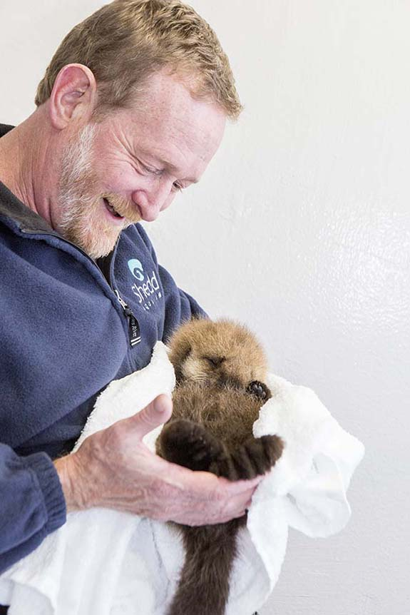 Orphaned Sea Otter Pup 681's First Night with Her Caretaker Humans at Shedd Aquarium 8