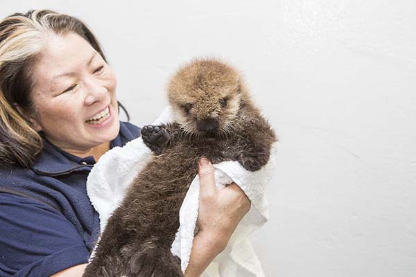 Orphaned Sea Otter Pup 681's First Night with Her Caretaker Humans at Shedd Aquarium 9