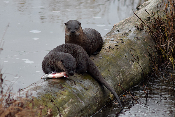 Otter Does Not Want to Share His Fish with His Friend 2