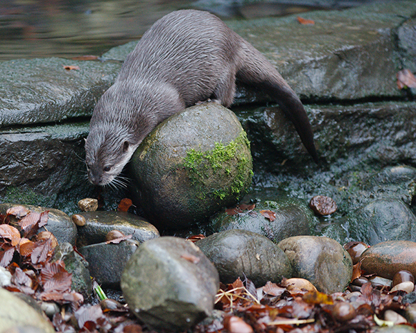 Otter Has Just Found the Perfect Juggling Rock
