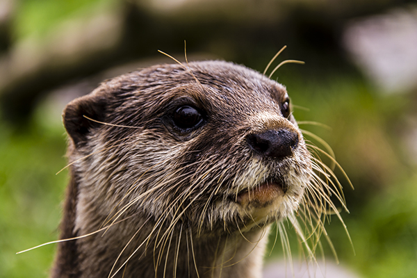 Otter Is Wide-Eyed