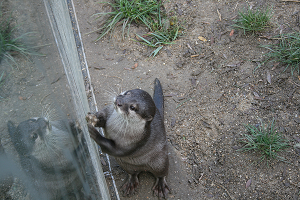 Otter Shows Humans His Rock and Juggling Skills 1