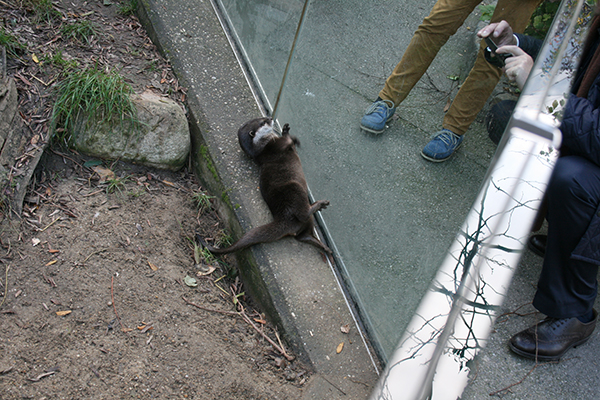 Otter Shows Humans His Rock and Juggling Skills 2