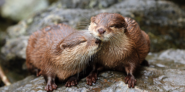 Otters Sweetly Nuzzle Each Other