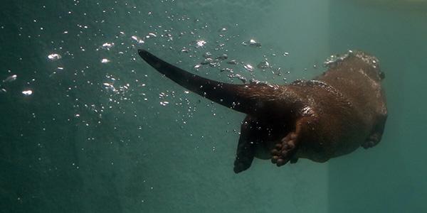Otter Swims Away