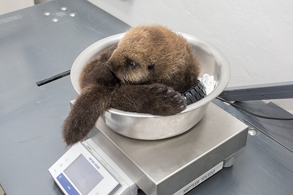 Sea Otter Pup 681 Is Weighed with Her Toys 1