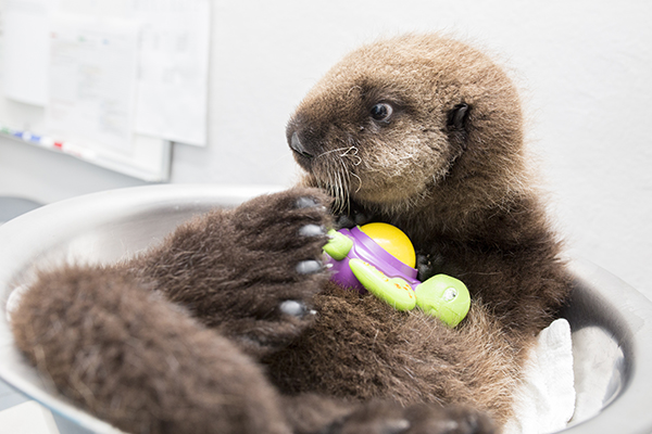 Sea Otter Pup 681 Is Weighed with Her Toys 11