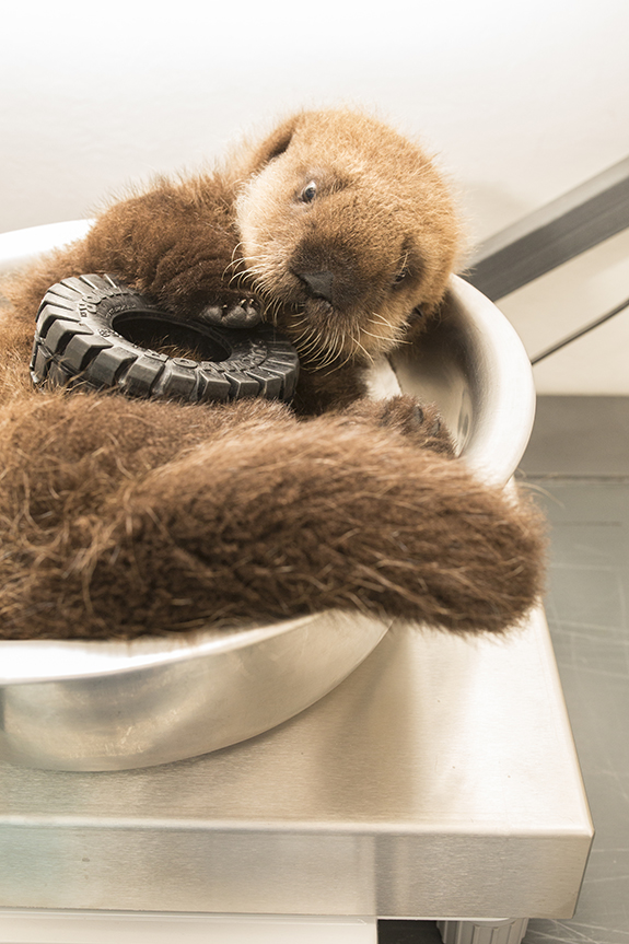 Sea Otter Pup 681 Is Weighed with Her Toys 2