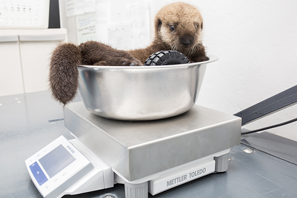 Sea Otter Pup 681 Is Weighed with Her Toys 5