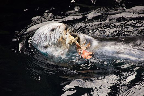 Sea Otter Has a Tasty Crab Snack