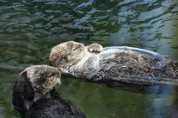 Sea Otter Naps Holding a Tube Toy 1
