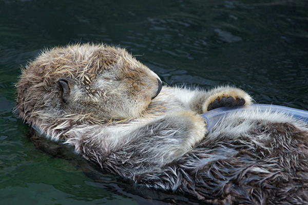 Sea Otter Naps Holding a Tube Toy 2