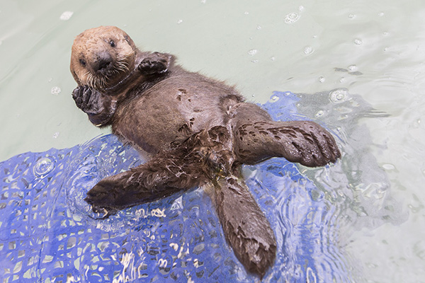 Sea Otter Pup 681 Gets Weighed and Goes for a Swim 4
