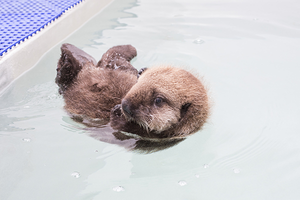 Sea Otter Pup 681 Goes for a Swim and Lounges Poolside 1